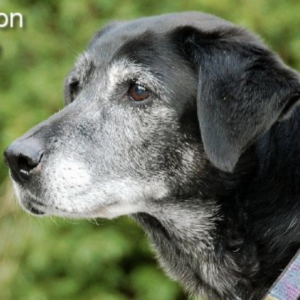 older senior dog