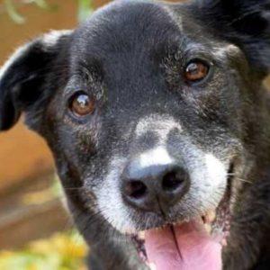 grey muzzle dog